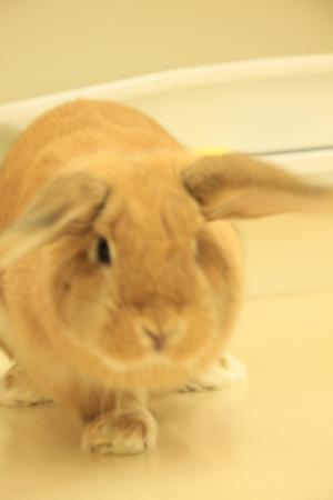 ウサギ・ハナちゃん1