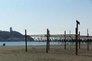 江島道:ワカメを干す柵とトビ