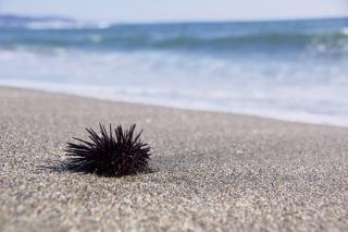 江島道:七里ヶ浜に落ちていたウニ
