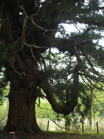 大日坊の皇壇の杉