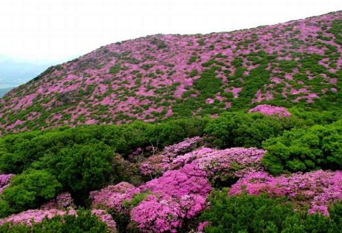 山はピンクに平治岳