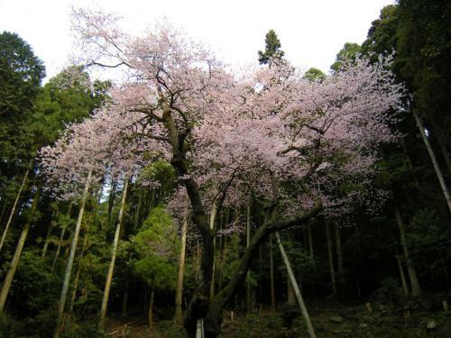 2009.3.29虎尾桜 021