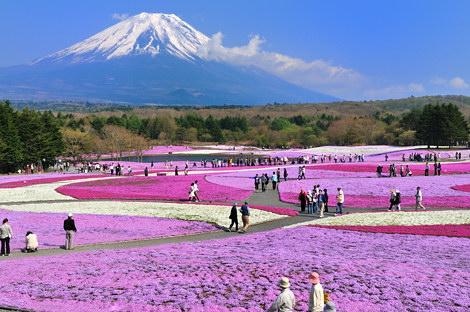 富士芝桜その1