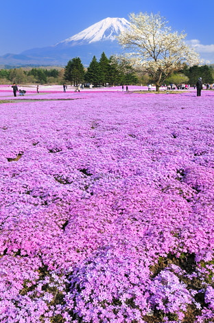 富士芝桜まつりその3