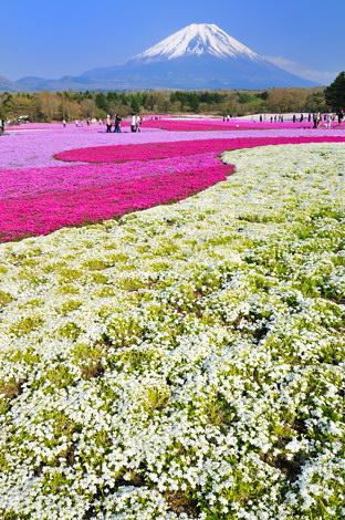富士芝桜まつりその5