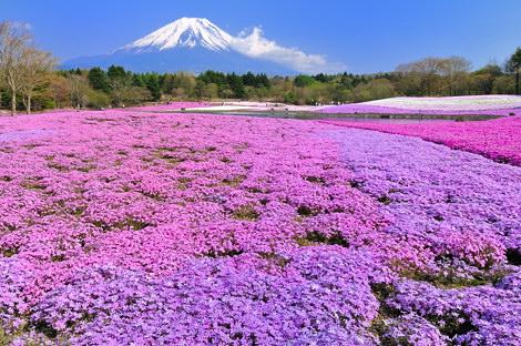 富士芝桜まつりその6