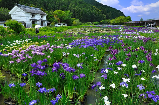 加茂菖蒲園1