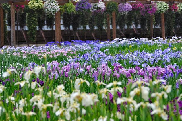 加茂菖蒲園2