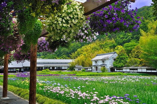加茂菖蒲園3
