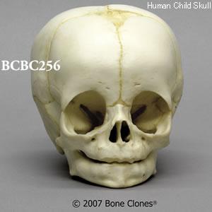 乳幼児頭蓋骨模型
