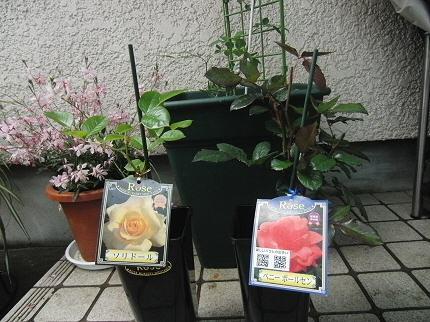 バラ苗、ソリドールとペルニールポールセン