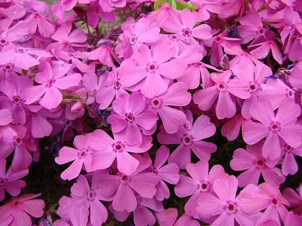 満開の芝桜・・・きれい