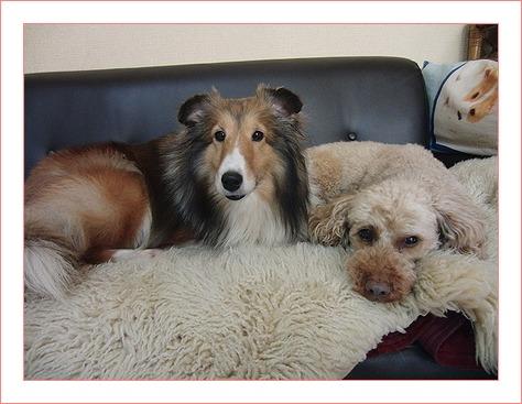 犬はソファーが好き