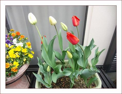 チューリップも咲いたわ