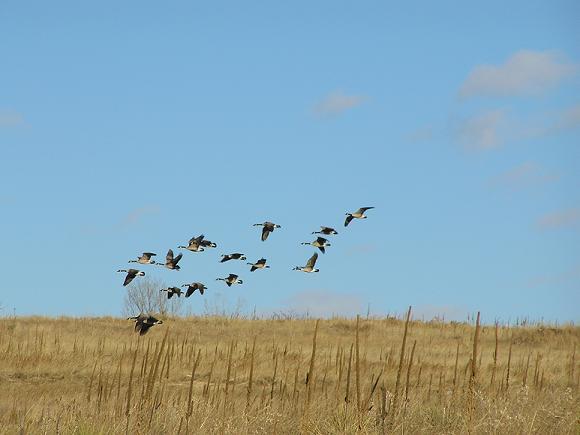 edited-geese.jpg