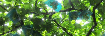 キラキラ木漏れ日のふどう棚
