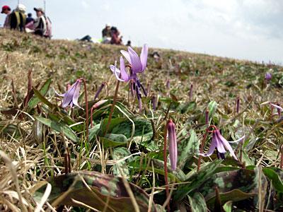 船通山のカタクリの花