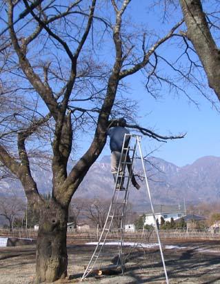 H230223 桜剪定