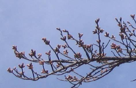H230408 桜の蕾