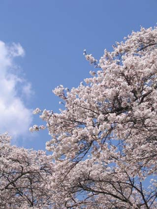 H230416 桜