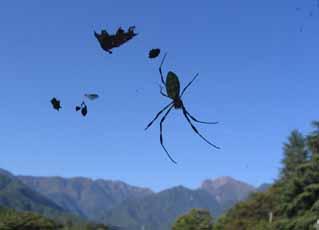 H241005 蜘蛛