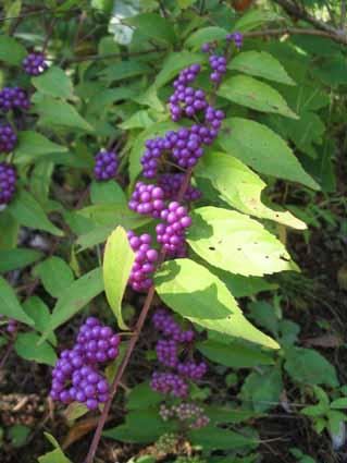 H241007 紫式部