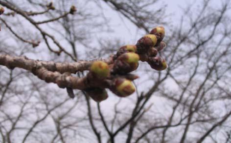 H250320 蕾(桜)