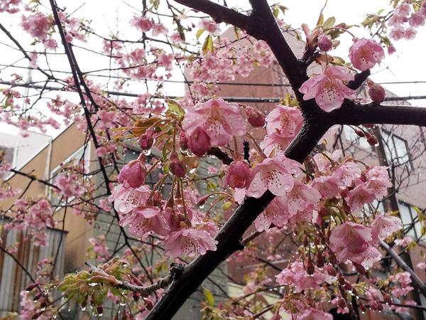 雫で垂れ下がった桜の花