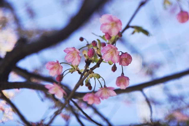 麻布十番の河津桜