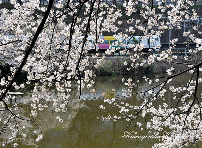 桜の飯田橋