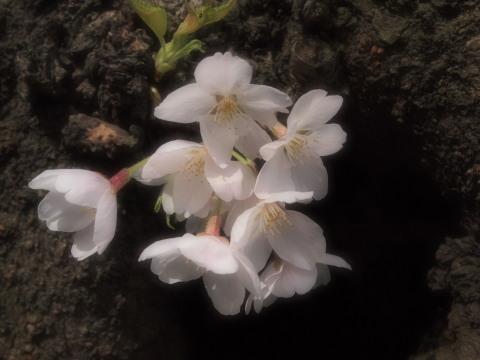 よく写真を撮られる幹から桜