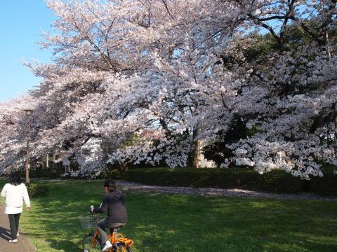 同じ公園の桜・4月上旬