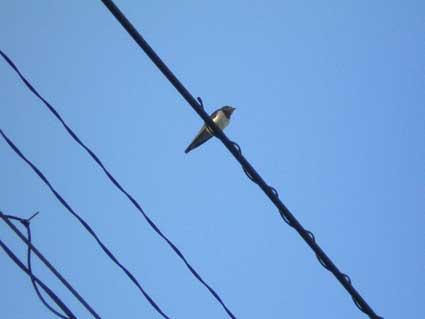 電線のつばめ1羽1
