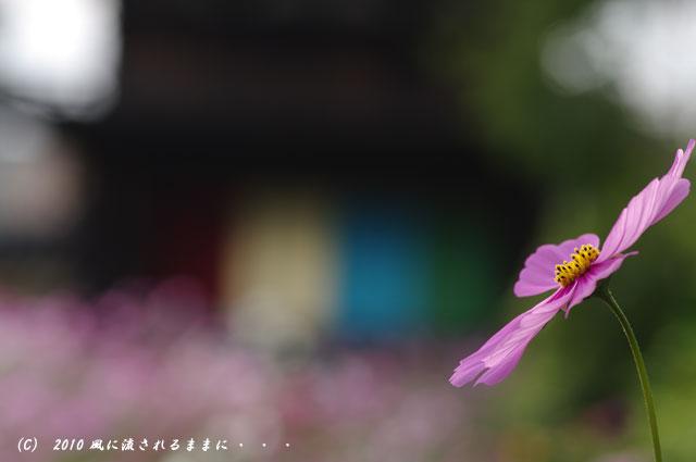 2010年 奈良 般若寺 コスモス3