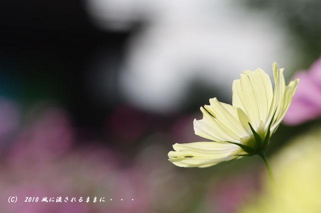 2010年 奈良 般若寺 コスモス5