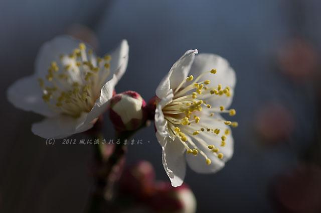 大阪城梅園 梅 2012-02-19-2