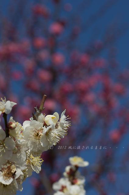 大阪城梅園 梅 2012-02-19-3