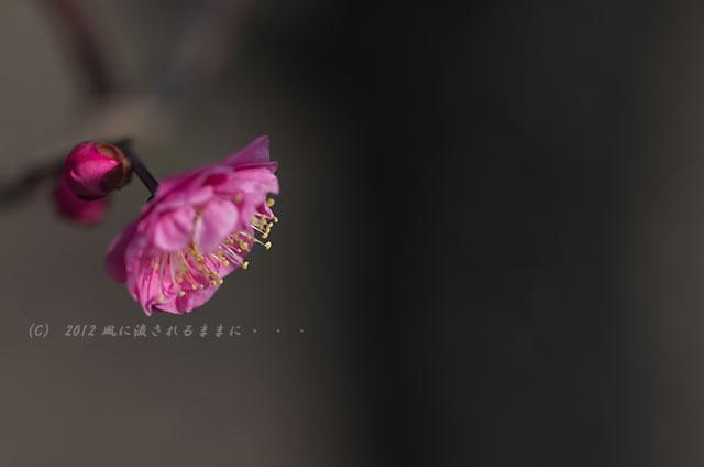 2012年2月 大阪城梅園 紅梅1