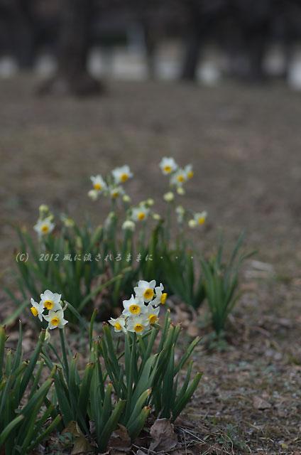 2012年 大阪城梅園 水仙の花1
