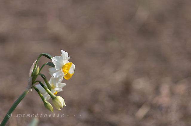 2012年 大阪城梅園 水仙の花2
