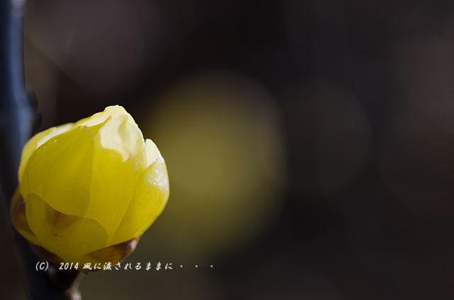 2014年1月11日 大阪城梅林 蝋梅2