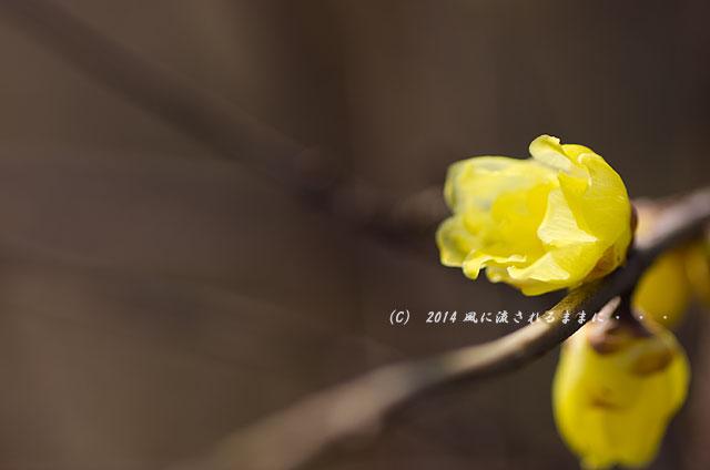 2014年1月11日 大阪城梅林 蝋梅3