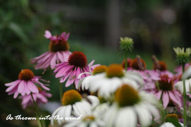 バレンギク(馬簾菊)1