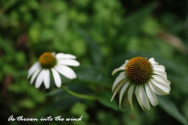 バレンギク(馬簾菊)2