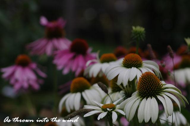 バレンギク(馬簾菊)3