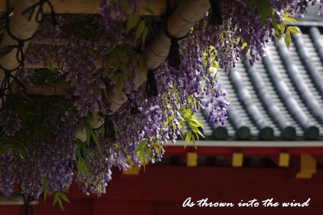 京都 平等院藤の花1