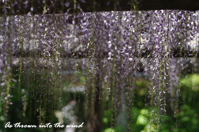 京都 平等院藤の花2