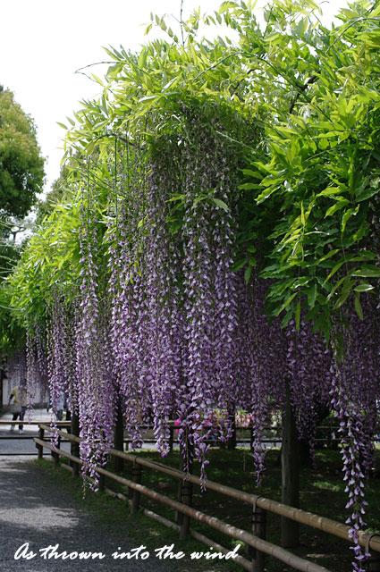 京都 平等院 藤の花1