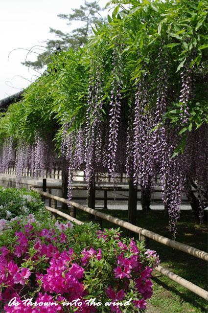 京都 平等院 藤の花2