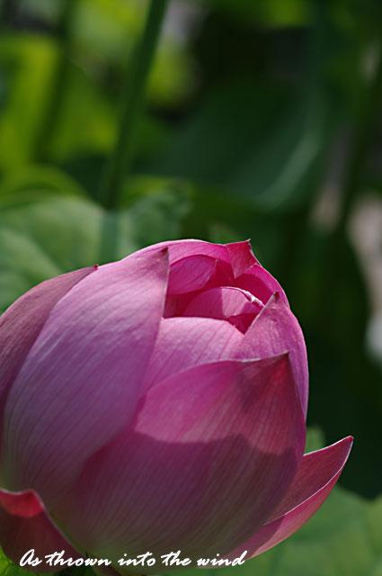 花の文化園 蓮の花2